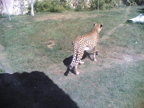 Chita - Cheetah