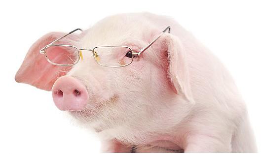 Porcos que tal são.jpg