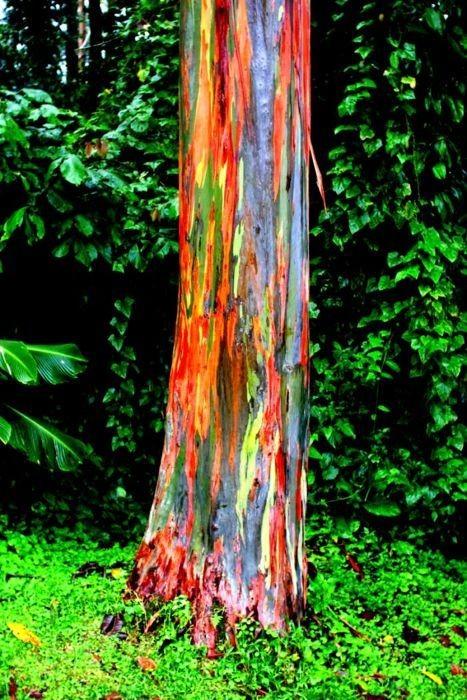 eucalyptus deglupta_06.jpg