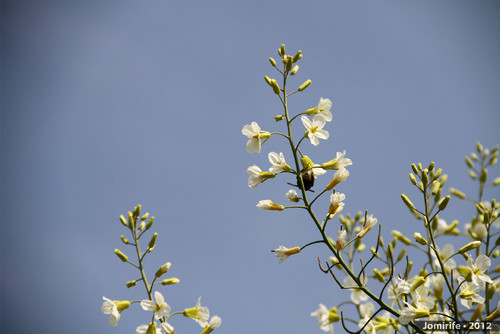 Abelhas a tirar o pólen das flores (1)