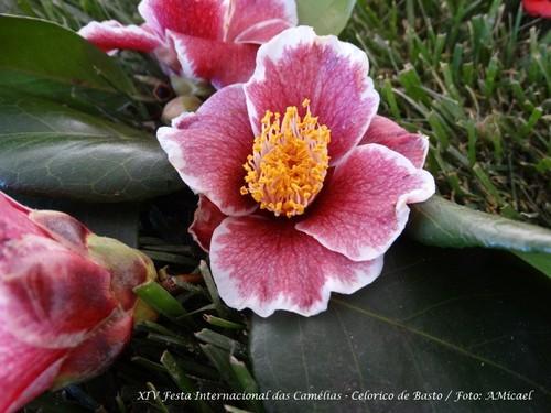 16 - Festa Internacional das Camélias - Celorico