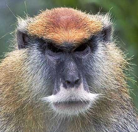 patas-monkey-close-up.jpg