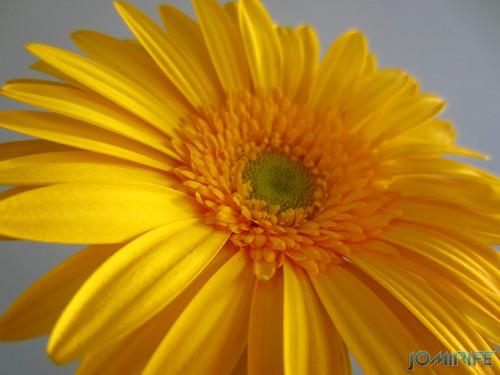 Flor Gerbera amarela, Yellow Gerbera flower (5)