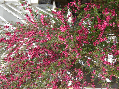 Arbustos do meu jardim miilay for Arbustos de jardin fotos