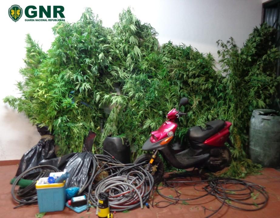 GNR Santarém - Apreensão de plantas de cannabis.
