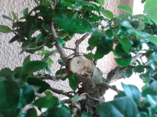 Topo bonsai ligustrum