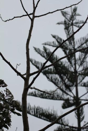 Ginko biloba e Abeto os contrastes do inverno.JPG