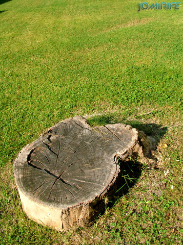 Tronco cortado pela base [en] Trea trunk cut in base