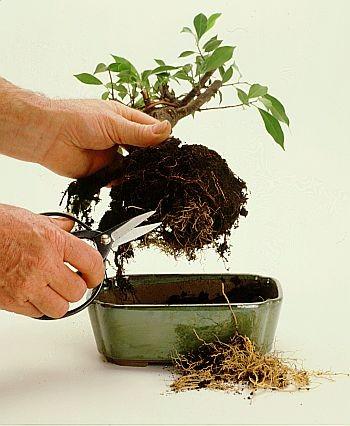 Cuidados após transplante de bonsai