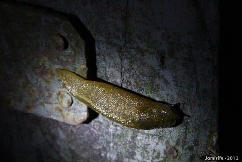 Lesma / Slug (74)