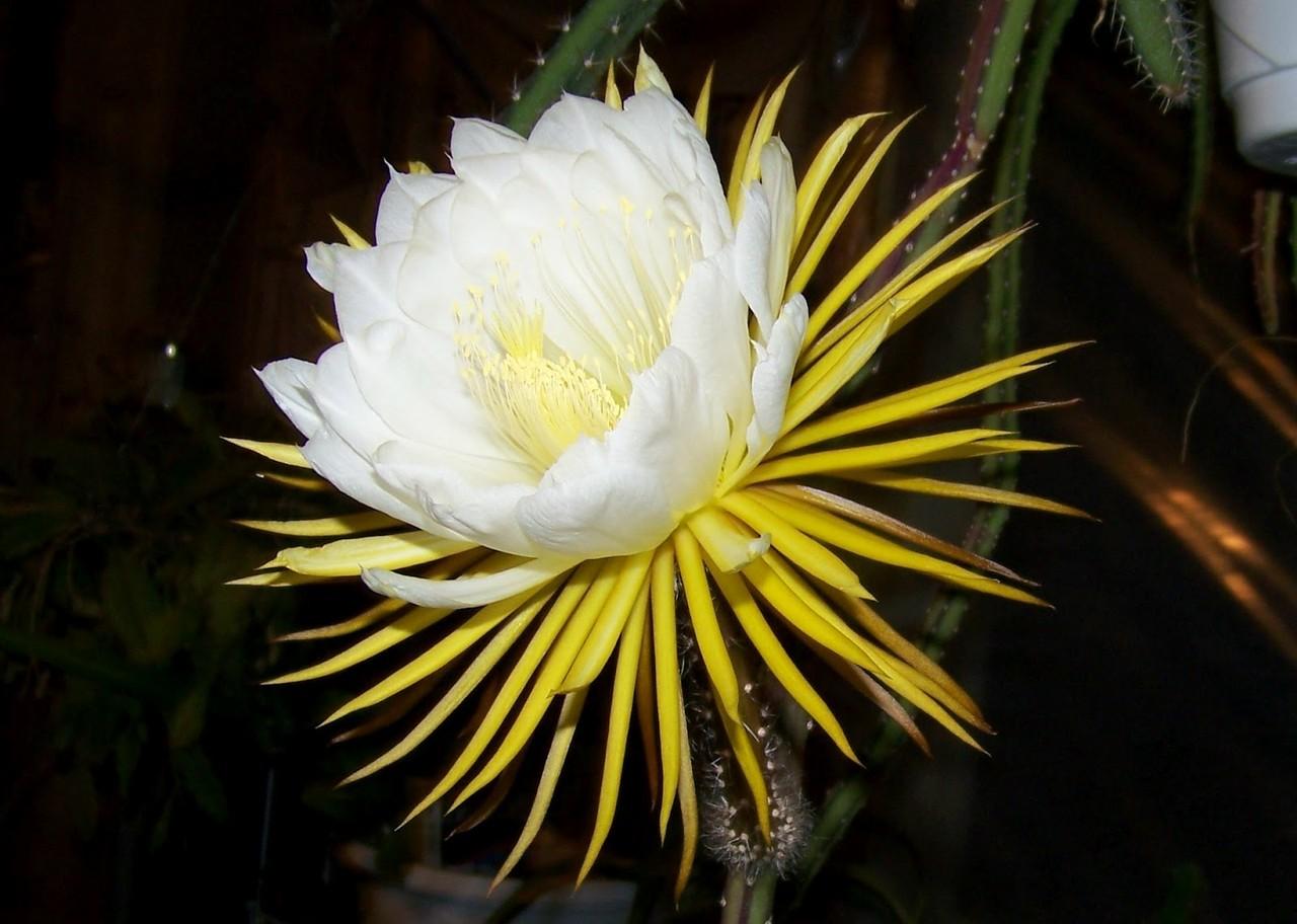 Selenicereus_grandiflorus-101.jpg