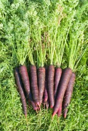 cenoura purpura.jpg