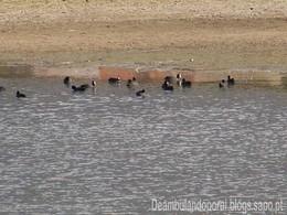 Patos - Lagoa da Ervedeira