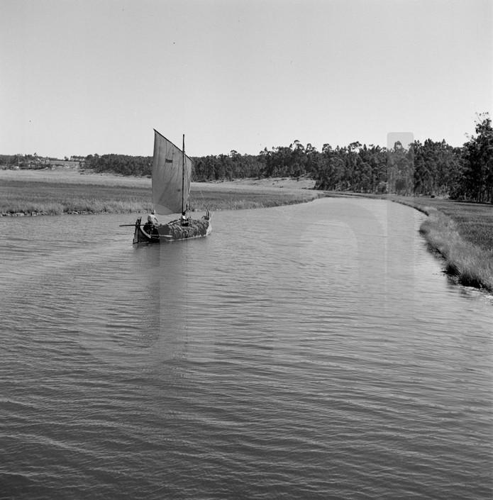 Moliceiro carregado de moliço, Ria de Aveiro (A.Pastor, 1952)